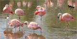 Chilean Flamingos.
