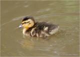 Mallard Chick.