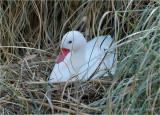 Coscoroba Swan on Nest
