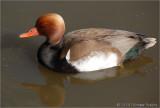 Redhead Duck.