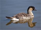 Nene or Hawaiian Duck