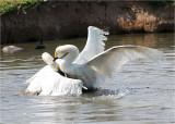 Fighting Berwick Swans