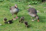 Greylag Goose family.