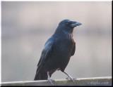 Raven 2.