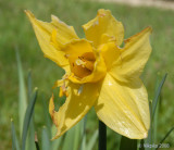 The last Daffodil.jpg