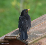 Blackbird - male.
