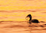 Horned Grebe with Catch...