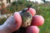 Melissa's Buff-bellied Hummingbird