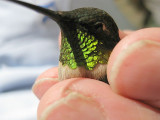 Green Gorget Ruby-throated