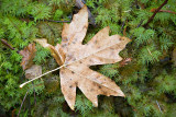 Wet leaves seen on a woods walk