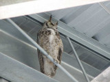 Crazy owl in stands