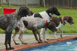 German Shorthair Rescue Reunion - May 2009