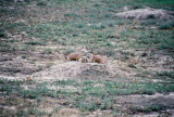 Prairie Dog, Theodore Roosevelt National Park, ND