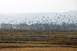 Giant flock of birds lifting off from a field