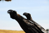 Thick-billed Raven, Simien Lodge