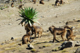 Even here at this high altitude, near 4200m, there are Gelada