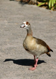 Egyptian goose, Cape Town