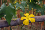 Vine with a yellow flower
