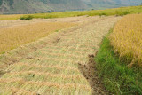 The rice harvest has begun - early October