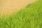 Rice planted at two different times on adjacent fields