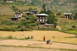 Rice Harvest, Bhutan