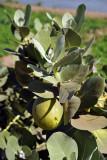Some kind of fruit