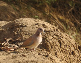 Laughing Dove (Stigmatopelia senegalensis) on the banks of the Nile, Old Dongola
