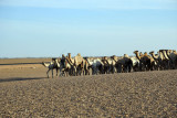 Camels being herded north bound for market in Egypt