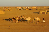 A herd of camels in a village