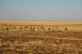 Herd of camels on a stubbly plain