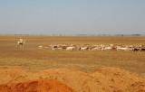 Man on camel herding sheep