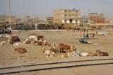 Livestock along the railway in southern Khartoum