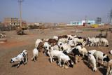 Herd of sheep, southern Khartoum