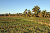 Crops growing along the Nile, Soleb-Nubia