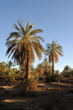 Palm trees, Soleb