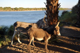 Donkeys on the banks of the Nile at Soleb