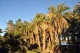 Palm trees along the Nile