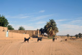 Goats in the road of a west bank Nubian village