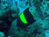 Yellowband angelfish (Pomacanthus maculosus), Sudan-Red Sea