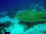 Table coral, Abu Adila