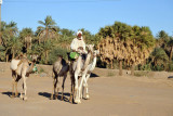 Man mounted on a camel leading 3 others along the Nile between El Kurru and Karima