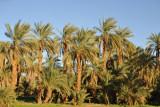 Palm trees along the NileFertile strip along the East Bank of the Nile between El Kurru and Karima