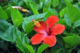 Red hibiscus, Port Louis
