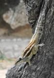 Indian Palm Squirrel (Funambulus palmarum)