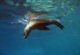 A California Sea Lion starts a dive, Los Islotes