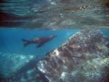 Sea Lion among the rocks off Los Islotes