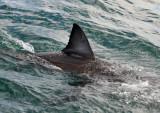 Great White Shark - dorsal fin