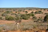 Ostrich, Addo Elephant National Park