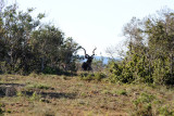 Resting kudu, Gorah Loop, Addo Elephant National Park