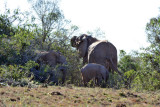 Elephants, Gorah Loop, Addo Elephant National Park